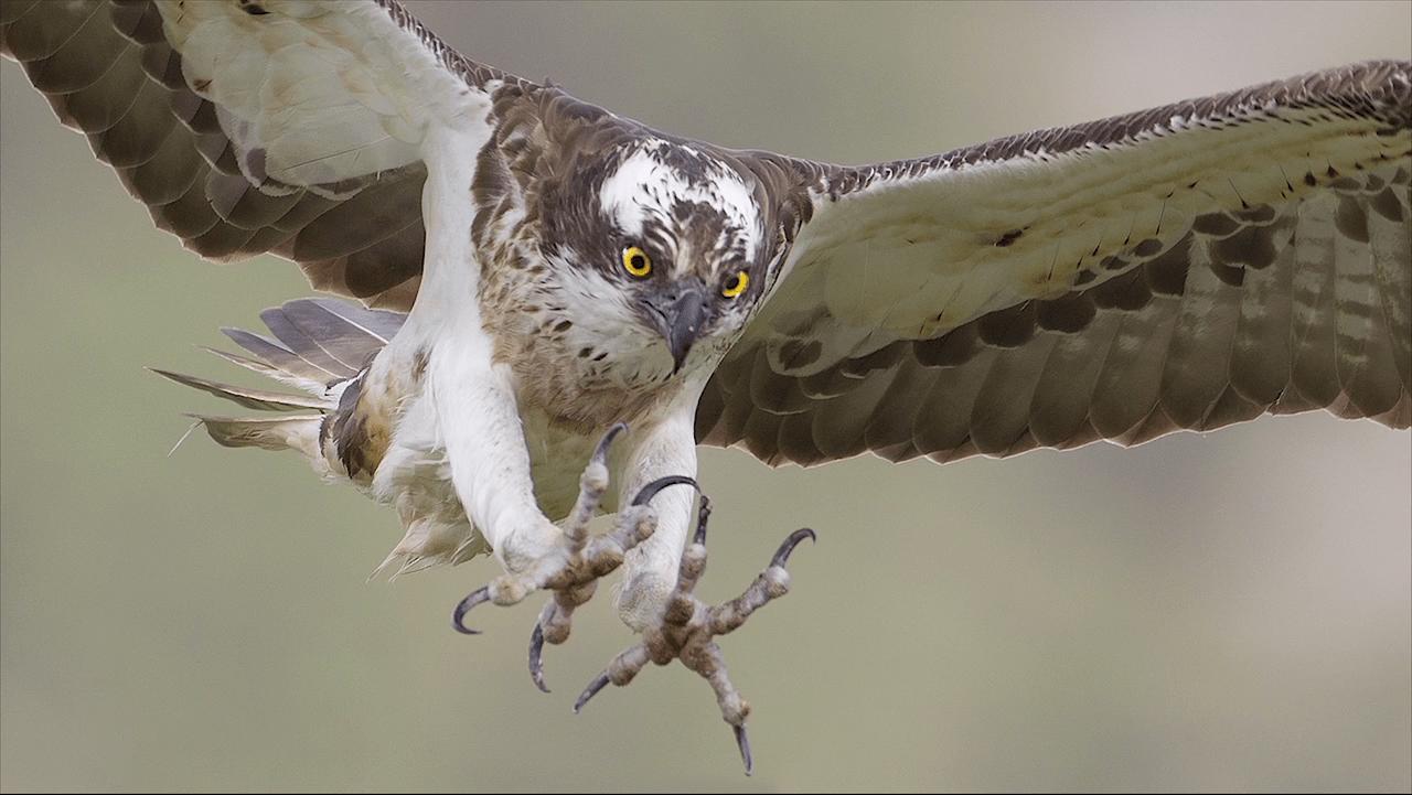 Rewilding Scotland: the osprey