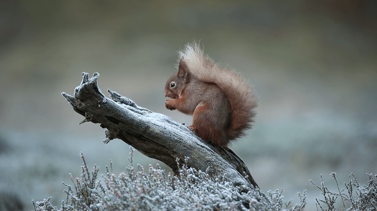 Bringing the red squirrel home